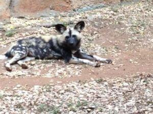 African Wild Dog   日本名はリカオン。 こんなに近くで見れた事ありません。