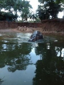 カバです。 泳いだりでたりの連続運動。